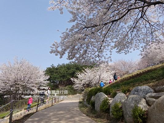 안산공원벚꽃21