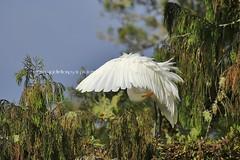 white heron (rina sjardin-thompson photography) Tags: newzealand white bird heron nature preening nz southisland westcoast aotearoa westland okarito okaritolagoon southwestland rinasjardinthompson