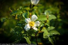 Fiore - Bergen (traccediscatti) Tags: natura rugiada goccia