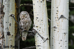 GG12 (Sam Parks Photography) Tags: trees wild summer usa bird nature animal forest rockies spring wings woods nps wildlife unitedstatesofamerica ghost feathers meadow aves raptor northamerica rockymountains wyoming greatgrayowl phantom predator carnivorous naturalworld jacksonhole avian tetonrange parkservice strigiformes grandtetonnationalpark predatory aspentree strixnebulosa gye mountainous carnivora strigidae gtnp greateryellowstoneecosystem aspenstand horizontalorientation carniore