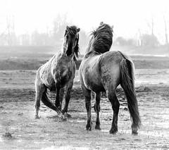 A heated discussion (Ingeborg Ruyken) Tags: morning portrait horse closeup sunrise dawn fight flickr nederland thenetherlands battle denbosch dropbox ochtend shertogenbosch paard noordbrabant konik enprofil zonsopkomst natuurfotografie diezemonding 500pxs