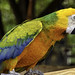 Multi-Colored+Macaw