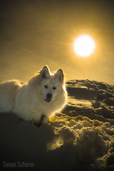 Samu (Blochmntig) Tags: winter sunset sunlight samu sunbeams winterwonderland snowdog winterlandschaft doglover