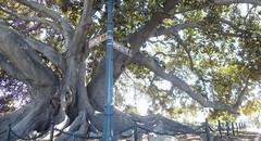 Moreton Bay Fig (Santa Barbara) (Jeff Goddard 32) Tags: california santabarbara moretonbayfig ficusmacrophylla