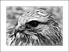 Hawk B&W (MEaves) Tags: blackandwhite bw bird nature monochrome hawk raptor predator avian
