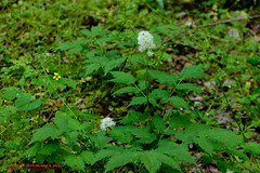 White Baneberry [Doll's Eyes - Actaea pachypoda] (mikerhicks) Tags: usa nature geotagged outdoors photography spring unitedstates nashville hiking tennessee wildflowers flowersplants percywarnerpark whitebaneberry dollseyes actaeapachypoda geo:country=unitedstates camera:make=canon exif:make=canon exif:focallength=50mm geo:city=nashville geo:state=tennessee nashvillehikingmeetup tamronaf1750 vaughnsgap tamronaf1750mmf28spxrdiiivc exif:lens=1750mm exif:aperture=40 exif:isospeed=640 canoneos7dmkii camera:model=canoneos7dmarkii exif:model=canoneos7dmarkii geo:location=vaughnsgap geo:lon=8688234667 geo:lon=86882346666667 geo:lat=3607219333 geo:lat=36072193333333