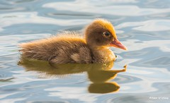 Cuties and Its Distorted Reflections (   (Thank you, my friends, Adam!) Tags: flower macro art beauty closeup reflections lens photography nikon gallery photographer florida wildlife fine central duckling cutie excellent dslr curve