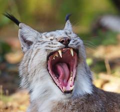 Lynx yawn (pentars) Tags: wild portrait nature animal tongue cat tooth zoo big close pentax teeth yawn sigma canine jaws chops f4 lynx 100300 k5ii