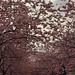 Unter Kirschblüten (02)