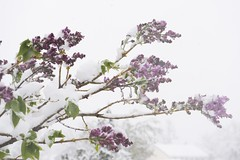 C'mon lilacs, it's only April (GeoDave5280) Tags: snow storm color outdoors centennial colorado purple cloudy violet neighborhood lilacs artistry floweringshrubs
