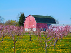 Blossoms and barn (Larry the Biker) Tags: flowers barn rural spring michigan farm country blossoms orchard ag april blooms agriculture vernal washingtontownship
