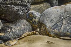 Sea Turtle II (rschnaible) Tags: ocean life sea wild usa green animal hawaii us tour pacific turtle wildlife sightseeing maui tourist