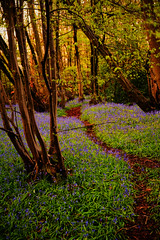 sherrardswood bluebells5s (bluetel) Tags: wood city morning trees bluebells garden nikon path velvia hertfordshire d3 welwyn sherrardswood