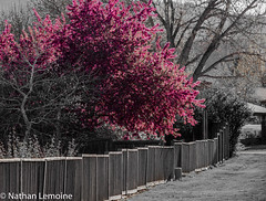 Mayapples in April (Auerilas) Tags: pink flowers fence colorado purple desaturation