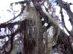 Usnea (Orjatar) Tags: tree finland lapland lichen usnea