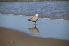 A seagull wades in the Atlantic Ocean (apardavila) Tags: beach sand seagull jerseyshore atlanticocean manasquan manasquanbeach