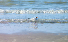Mouette rieuse (amandineschmit) Tags: mer bird animal see eau sable plage mouette rieuse