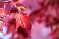 spring (frankieleon) Tags: pink red color tree leaves leaf spring belgium bokeh bloom