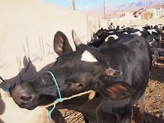 P4162065 (t_y_l) Tags: morocco marokko tinghir suq 2016 tinerhir