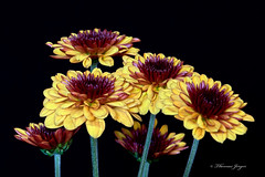 Mums Group 1117 Copyrighted (Tjerger) Tags: plant black flower macro green fall nature yellow closeup blackbackground wisconsin flora purple group petal mums stems bunch bloom