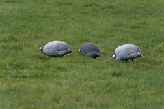 20160430_144240_DxO (SnapperNeil) Tags: guineafowl