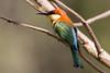 Chestnut headed Bee-eater (The Treerunner) Tags: chestnutheadedbeeeater