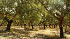 lord of the trees (yakkay43) Tags: portugal pflanzen lifestyle landschaft bume aussen kork streetfotografie porto3