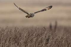 Short-eared owl (Andy Davis Photography) Tags: canon hunting flight owl shortearedowl asioflammeus quartering distinguishedbirds