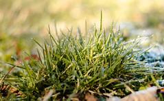 Gras im Morgentau (ingoal18) Tags: drops bokeh wiese gras grn waterdrops wassertropfen tropfen morgentau bschel grasbschel