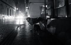 Dog's Life | Day 167 / 365 (marcin baran) Tags: life street 2 two urban bw dog building brick wet monochrome look car animal night dark lights evening fuji darkness pov path candid pair streetphotography poland polska headlights sidewalk rainy fujifilm leash gliwice x100 marcinbaran x100t