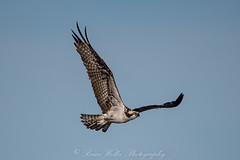 Flying High! (Arizphotodude) Tags: arizona nature water birds wings nikon wildlife birding sigma raptor d750 osprey naturephotography wildlifephotography nikond750
