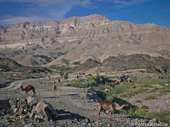 Desert Camels (Peter Gostelow) Tags: oman camels