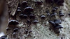 Resupinatus alboniger (Eric Hunt.) Tags: black mushroom rotting log fungus lichen gill fruitingbody resupinatus pleurotaceae resupinatusalboniger