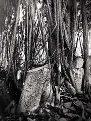 Moreton Bay Fig (Banyan) (Rosa Perry) Tags: blackandwhite tree roots moretonbayfig project366 iphone6
