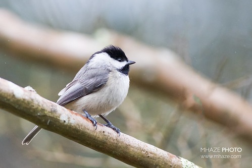 Rainy Day Chickadee
