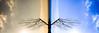 翼、羽、骨_2016,Jan,20 (Daisuke Nakashima) Tags: barcelona blue orange tree wing bone 木 青 骨 オレンジ 橙 羽 翼