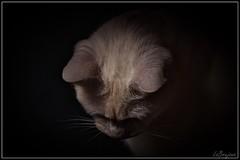 """Tara"" (LaBrujona) Tags: cat tara lucesysombras gata gatita whitecats gatosblancos labrujona peludines adoptaunpeludn"