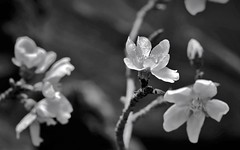 Flor d'ametller gelada (jubany m) Tags: 2016 gener gfh lliga jubany