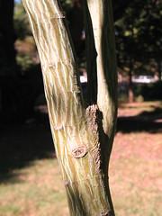 Acer davidii 10 1 7 AR ARB (2) (uacescomm) Tags: plant maple gerald acer week davidii snakebark universityofarkansassystemdivisionofagriculture kligaman moosewoodstripedbark