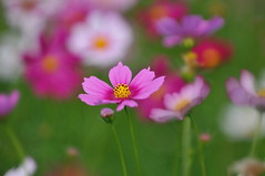 Cosmos (naruo0720) Tags: nikon bokeh cosmos d300 コスモス 秋桜 ボケ ニコン nkonafs60mmf28ged