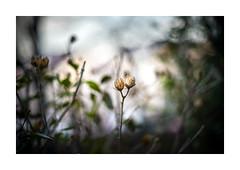 Bud! (markoicela) Tags: world street old winter flower colors digital painting lens photography 50mm nikon serbia like bud manual belgrade yashica f19 yashinon subreal d7000