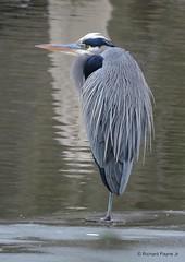 Great Blue Heron_N7384 (Henryr10) Tags: bird heron ardea kellogg greatblueheron avian ohioriver herodias ardeaherodias 4seasonsmarina