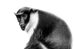 Diana (Acero666) Tags: blackandwhite bw art asian zoo monkey darkart 2016 twycrosszoo sel90m28g a7rii