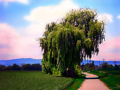 Trauerweide in Flomersheim/Pfalz (Ke Bra) Tags: tree sommer rbol landschaft arbre rvore baum pfalz palatine rheinlandpfalz frankenthal trauerweide rhinelandpalatinate palatinate rhnaniepalatinat salixalbatristis flomersheim