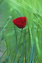 Primavera pasada (josechino2424) Tags: verde rojo trigo amapola josechino2424