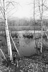 Paddles Views the Pond (F. Neil S.) Tags: trees winter blackandwhite film ice monochrome cat 35mm frozen pond walk negative ilfordhp5 birch blancetnoir selfdev yashicafr1