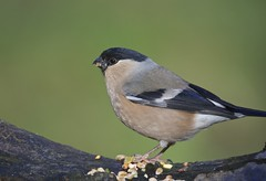 Female Bullfinch (Dave Brotherton Wildlife Photography) Tags: winter bird nature female woodland countryside nikon wildlife ngc feather finch hen tamron bullfinch outabout plumage winterwatch d7100 cromwellbottomnaturereserve tamron150600 davebrothertonphotography