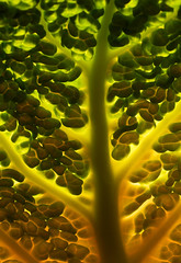 The Glowing Veggie Tree (AnyMotion) Tags: orange abstract detail macro green nature colors yellow leaf colours frankfurt natur pflanzen vegetable gelb grn makro blatt gemse farben abstrakt 6d 2015 savoycabbage wirsing anymotion canoneos6d vegstract