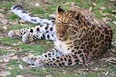 Kalinika (greekgal.esm) Tags: newyork feline sony leopard bigcat binghamton amurleopard rosspark binghamtonzoo sal70300g kalinika a77m2 a77mii