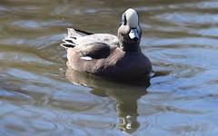 American Wigeon (careth@2012) Tags: reflection duck beak feathers americanwigeon